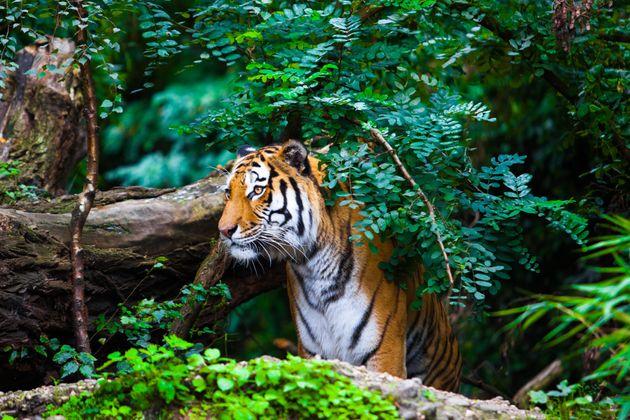 Δικαστήριο στην Ινδία επιτρέπει σε δασοφύλακες να σκοτώσουν μια τίγρη και να θέσουν σε κίνδυνο τα μικρά