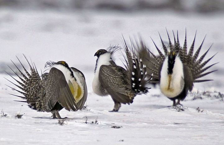 Sage grouse on a lake outside Walden, Colorado.