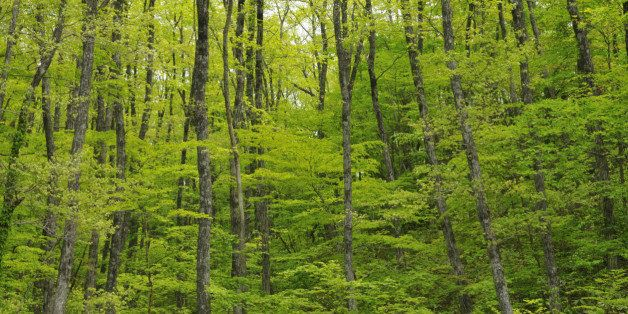 A Green And Lush Hardwood Forest Of Verdure