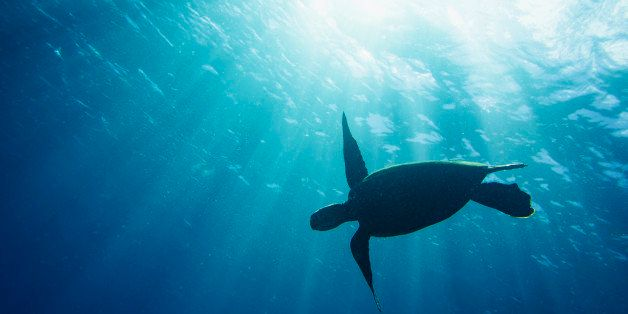 A large sea turtle silhouetted against the warm summer sun of hawaii and its deep clear waters.