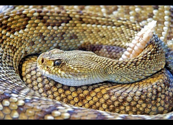 "These snakes are commonly found throughout North and <a href=""http://www.theactivetimes.com/content/11-reasons-you-need-explo"