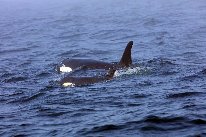 En esta fotografía del martes 7 de agosto de 2018 se muestra una orca residente del sur, conocida como J50, nadando junto a su madre, J16, cerca de la costa oeste de Vancouver, en la Columbia Británica. (Brian Gisborne/Fisheries and Oceans Canada via AP)