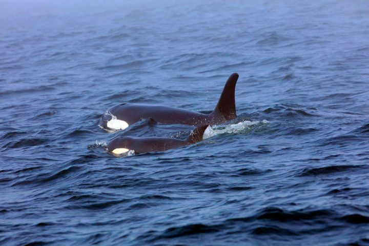 On Aug. 7, 2018, a southern resident orca, known as J50, is shown swimming with her mother, J16, near the west coast of Vanco