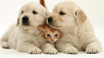 Red tabby kitten with Golden Retriever pups.