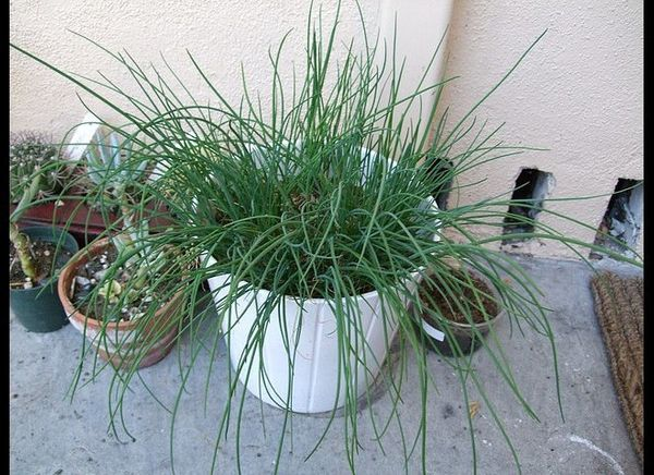 Like garlic, mosquitoes dislike chives. We simply placed a few snippets in a centerpiece and hoped for results. Though we did