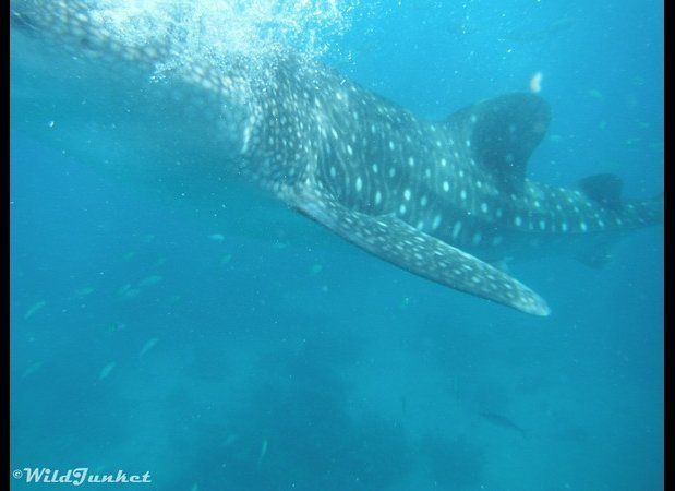 Swimming with whale sharks was an experience unlike no other: the behemoth creature glided just inches away from me, obliviou