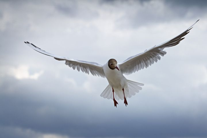 common gull   at the sky