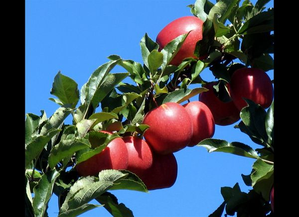 """In 2004, French research found that a chemical in apples <a href=""""http://www.webmd.com/cancer/news/20041018/apple-day-for-can"""