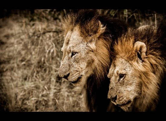 Lion's Battle With More Than 20 Hyenas Is This Year's Most Gripping
