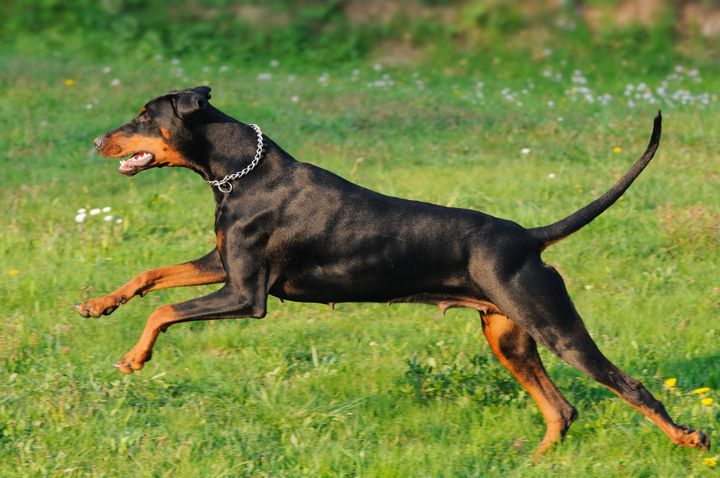 young black doberman dog...