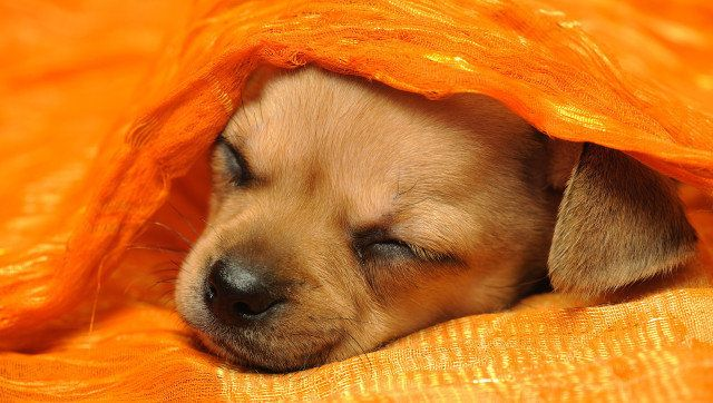 chihuahua puppy sleeping under...