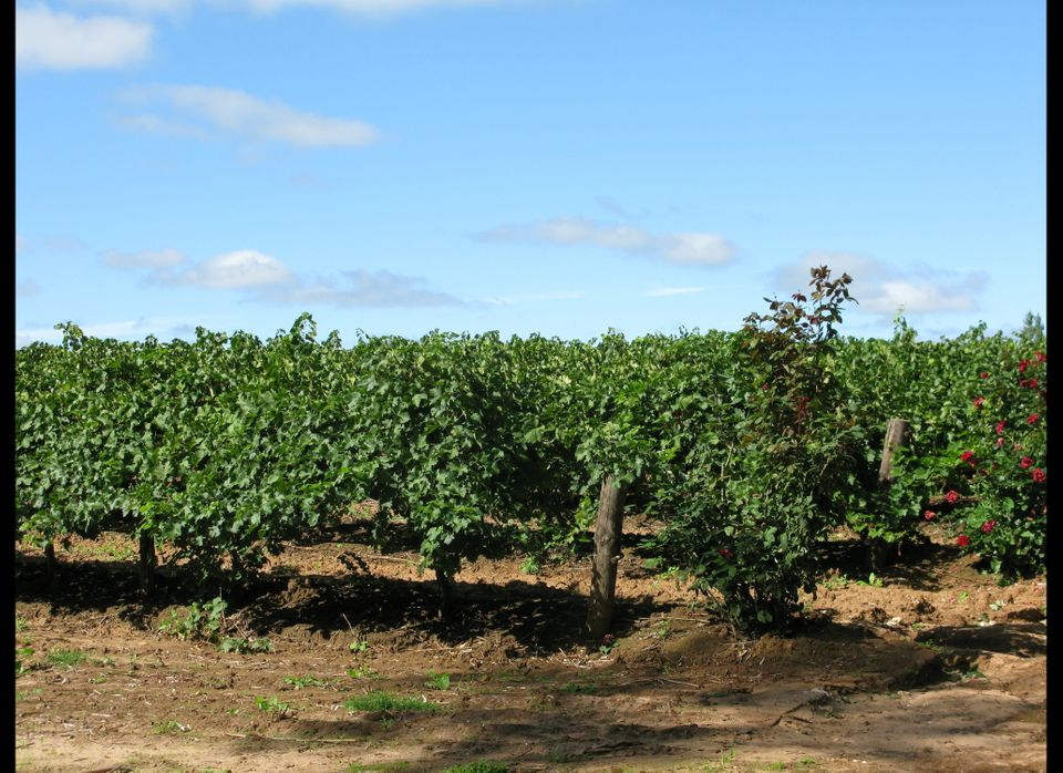 Blue skies and green grape vines are a welcome sight in the Barossa.