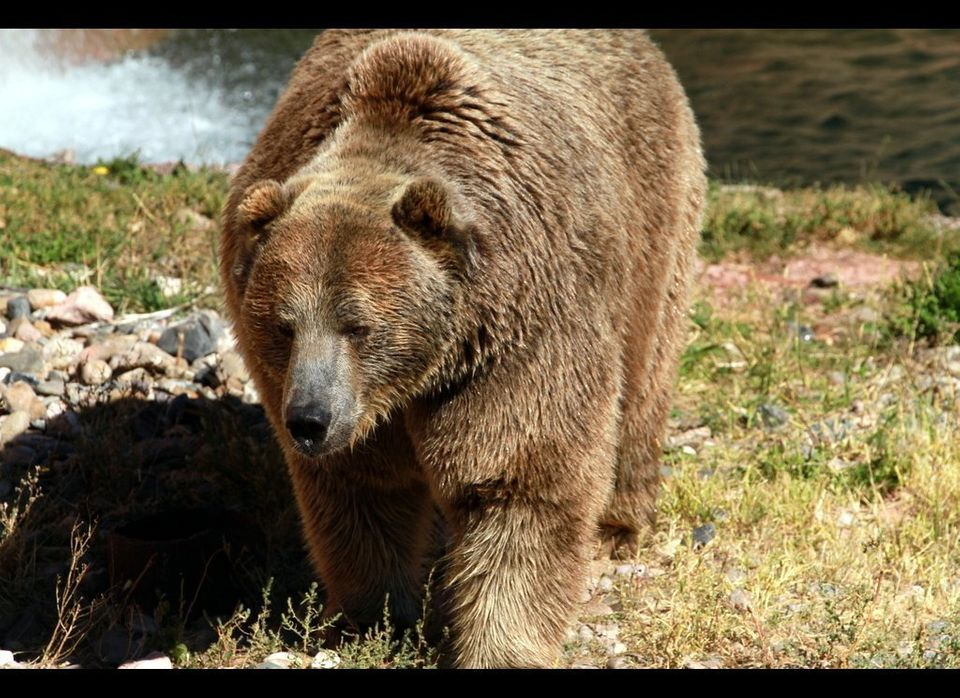 Grizzly bears are considered one of the most fierce predators on earth.