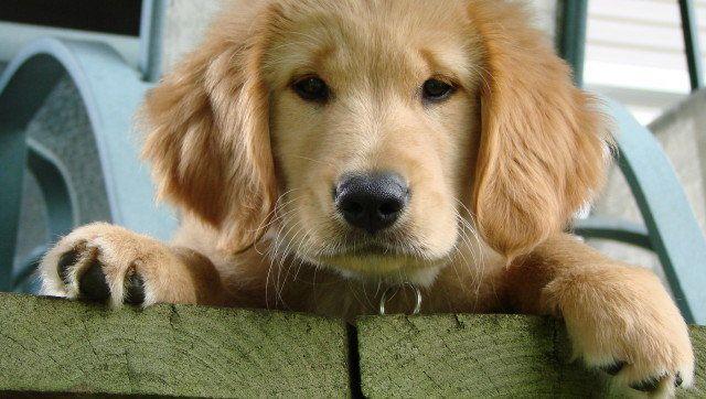 Description Golden Retriever dog (canis lupus familiaris), resting Un  ... of dogs Category:Front views of dogs Category:Golden Retriever puppies ...