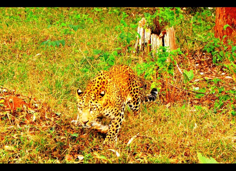 A leopard in Nagarhole National Park ignores our jeep on his way to finding an evening meal.