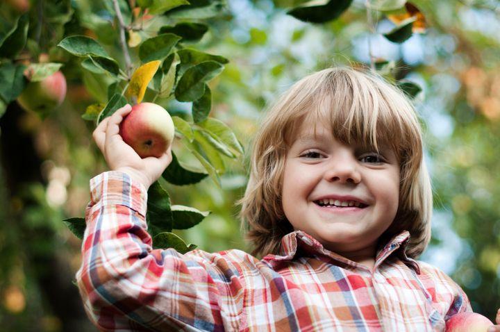 Little blond boy picking an apple from a tree branch. he laughs. Wear a shirt.