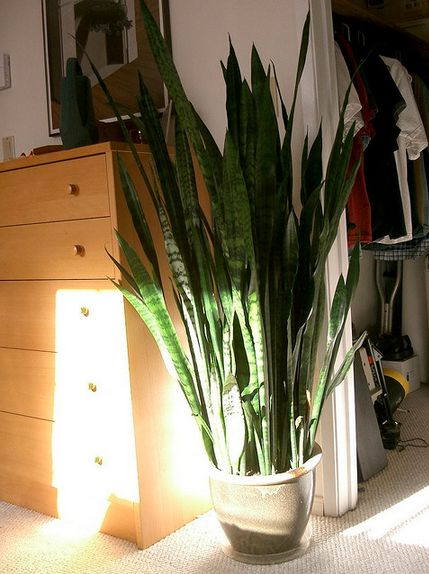 Snake plants don't need much light or water to survive, so they're an easy choice for any corner of your home. The plant abso