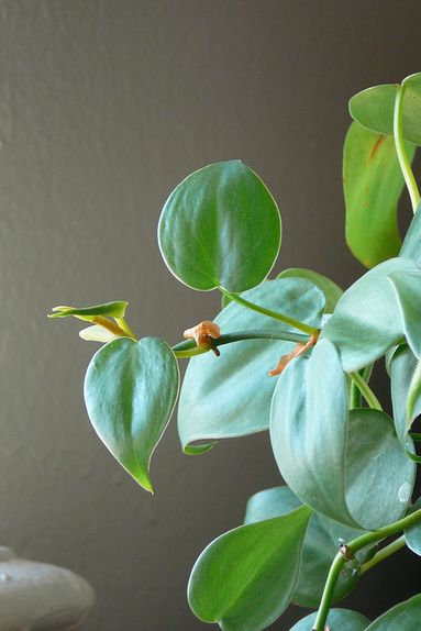 The heart-shaped philodendron is a popular plant choice for indoor areas, as they're easy to care for and can grow decorative