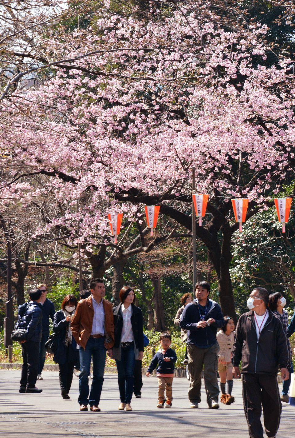 People walk under cherry blossom trees at a park in Tokyo on March 17, 2013. Japan's weather agency announced the official be