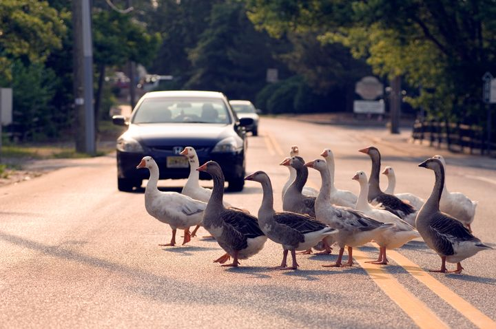 Geese crossing road, Smithville, NJ