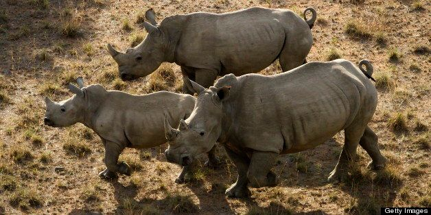 NORTH WEST, SOUTH AFRICA ? NOVEMBER 24: (SOUTH AFRICA OUT)  Rhino's on the Finfoot Lake Reserve on November 24, 2012 in North West, South Africa. Eight rhino on the farm were slaughtered by poachers. (Photo by Daniel Born / The Times / Gallo Images / Getty Images)