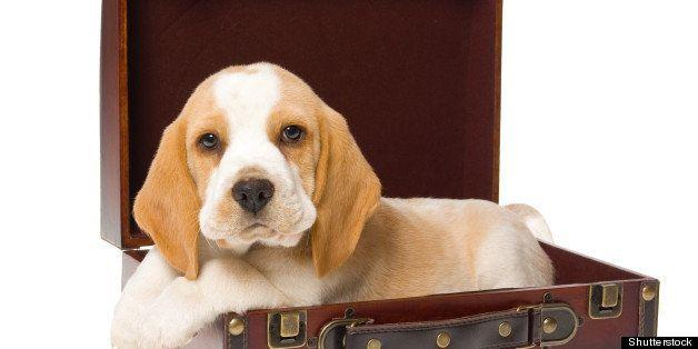 pretty beagle puppy lying in...