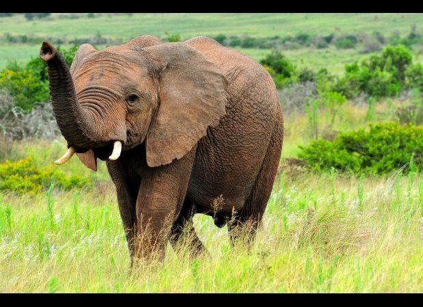 As human development encroaches more and more on elephant habitat, the incidence of elephant attacks is rising.Approximately