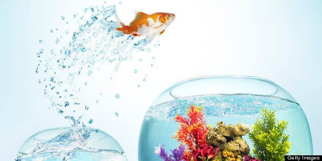 Goldfish leaping from small bowl to large bowl to a new beginning. Latin name: Carassius auratus. Goldfish were one of the first species of fish to be kept in captivity. They have been bred in China since the 11th century, and selective breeding there and in Japan has developed many ornamental varieties.