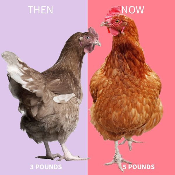 In the 1950s, a typical chicken weighed about three pounds. Today, a fully-grown chicken is almost twice that size -- five po