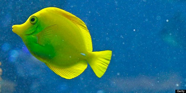A yellow tang fish (zebrasoma flavescens) swims in the aquarium of the Schoenbrunn zoo in the gardens of the Schoenbrunn Palace in Vienna on September 27, 2012. AFP PHOTO ALEXANDER KLEIN        (Photo credit should read ALEXANDER KLEIN/AFP/GettyImages)
