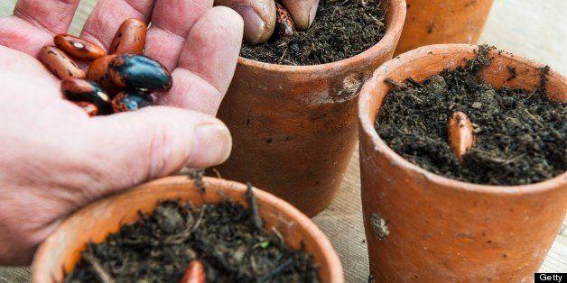 Male gardener sowing broad bean seeds in terracotta pots
