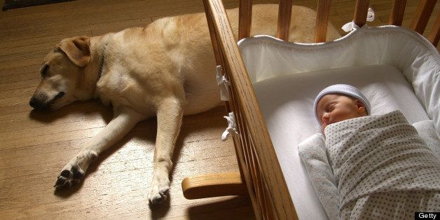 One-week old baby sleeps bundled in bassinet while family pet, labrador retriever naps nearby.