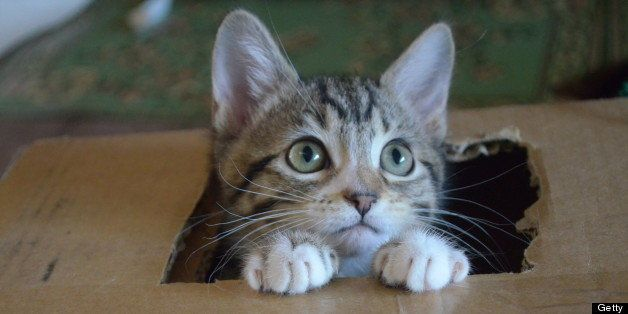 Tabby kitten peeks out of hole in cardboard box.