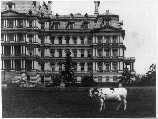 Pauline the cow in front of the State, War and Navy Building. This photo was published between 1909 and 1913. Pauline is <a h