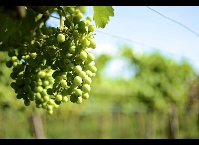 <em>Vienna's Vineyards</em>  Vastly dominated by white grapes & wine taverns (not to mention it's the only capital city tha