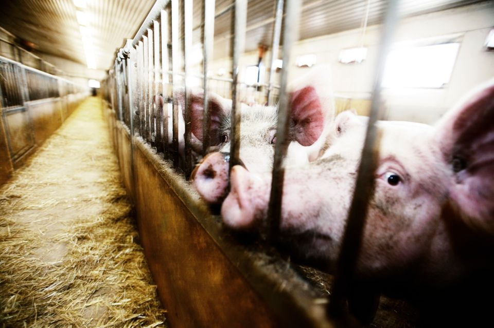 9 Facts About Factory Farming That Will Break Your Heart (GRAPHIC