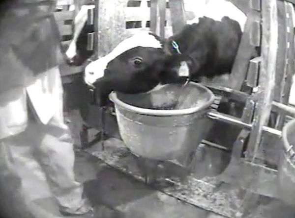 """<a href=""""http://www.humanesociety.org/issues/confinement_farm/facts/veal.html"""" target=""""_blank"""">Notoriously mistreated</a>, ve"""
