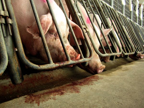 """Every year, <a href=""""http://www.motherjones.com/environment/2013/06/pregnant-sows-gestation-crates-abuse"""" target=""""_blank"""">mil"""