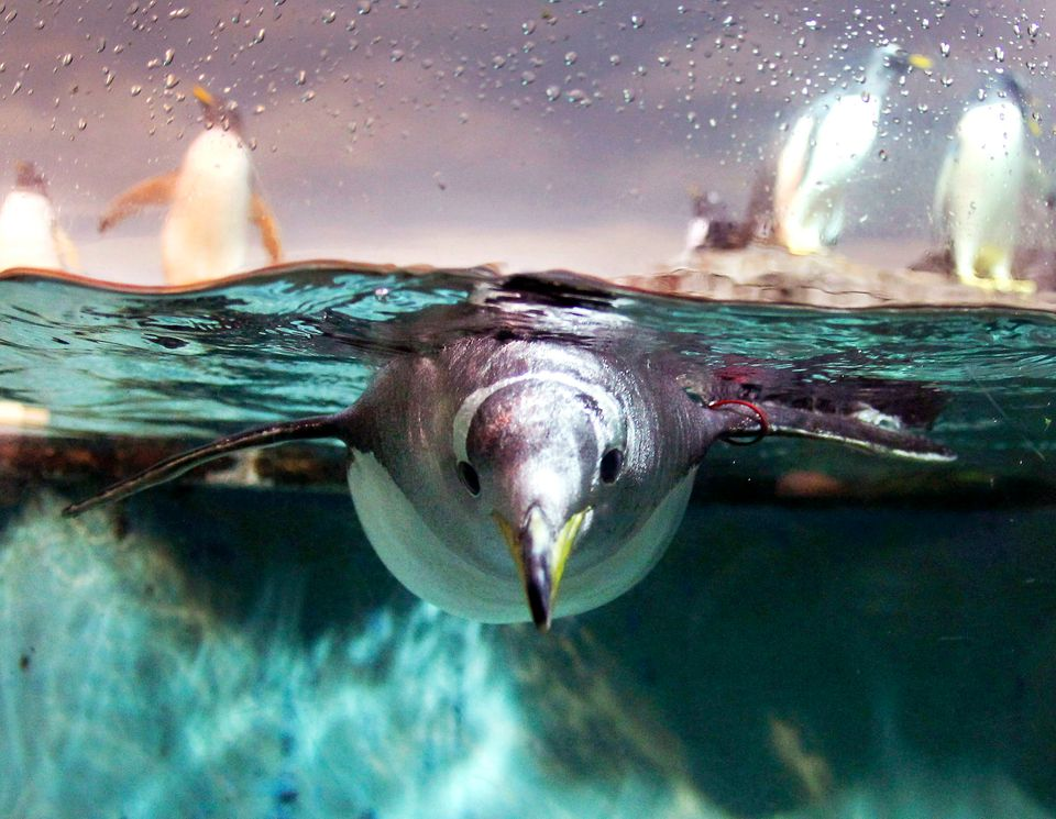A penguin dives in a pool in the zoo of Frankfurt, Germany, Friday, Jan. 27, 2012. (Michael Probst, AP)