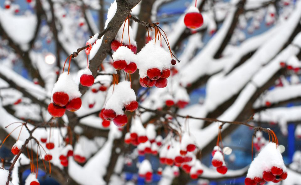 Snow covered berries stand out against a background in a park in the Belarus capital Minsk, on December 10, 2012. Snow fell t
