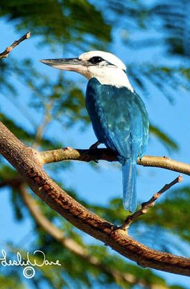 Speaking of birds, here's a beautiful kingfisher. This is not one of the species that's been nearly cooked out of existence.