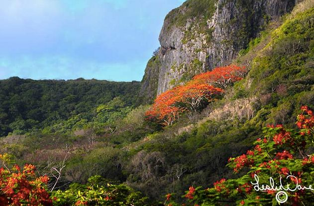 Every spring, Saipan's flame trees bloom bright orange -- these were captured at a place called Suicide Cliff by local photog
