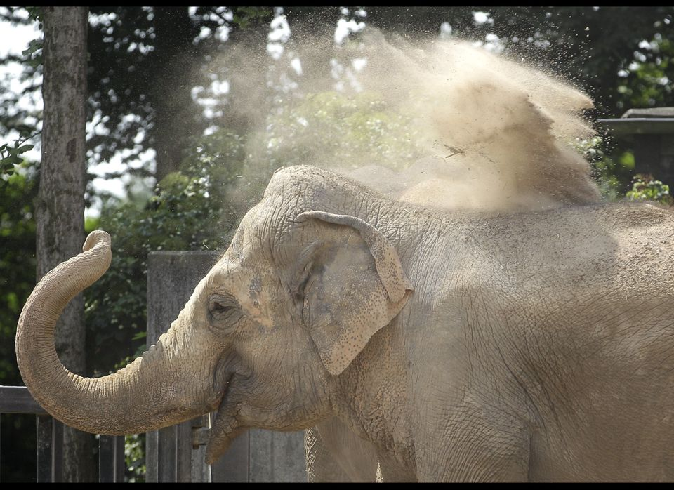 An Asian elephant takes a sandshower at the zoo in Krefeld, Germany, 05 July 2012. A light coating of sand on the back acts a
