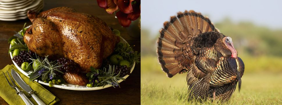 Wild turkeys look very different than the Butterballs we typically consume. Once very common in North America, the species be