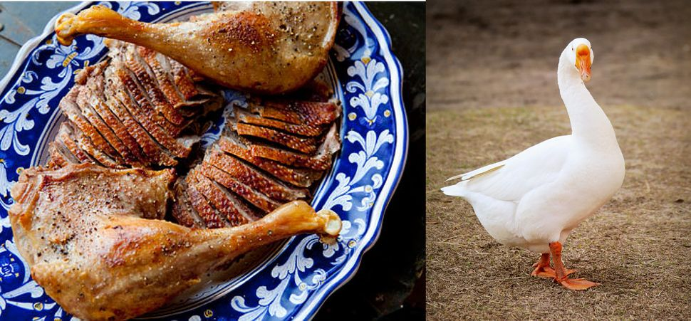 Goose, like duck, is a fatty bird. Its meat is dark and lean, and the fat is great for rendering and using later.