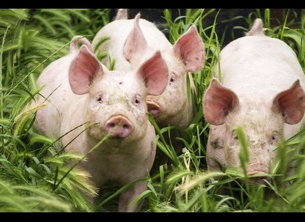 Pigs, Cows, and Turkeys Fed Ractopamine Safety have slammed the U.S. for its continued use of ractopamine saying it can caus