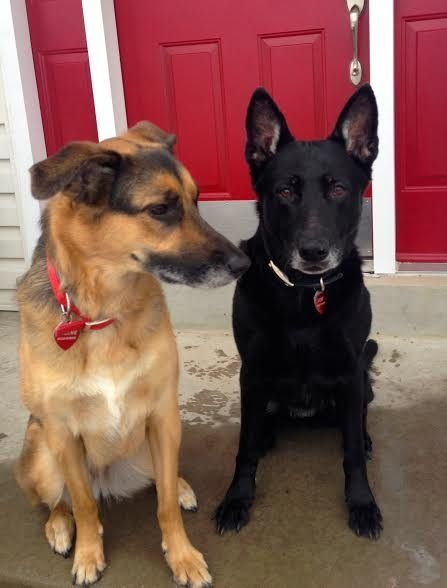 """""""My two German Shepherd pups were <em>always</em> a welcome distraction. There were days I didn't want to go on and they were"""