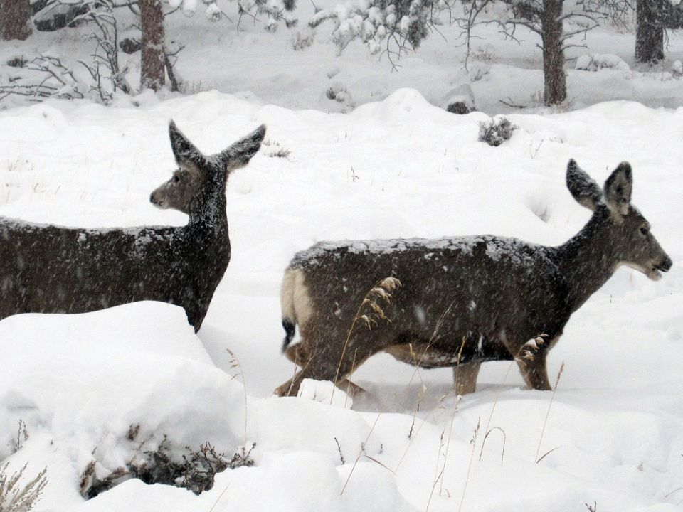 This image provided by the Rocky Mountain National Park, Colorado shows some wildlife inside the park Wednesday Oct. 26, 2011