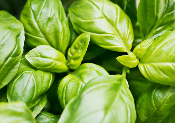 Basil will wilt faster if left in the fridge, and it will also absorb all the smells of the food around it. It's better to ke