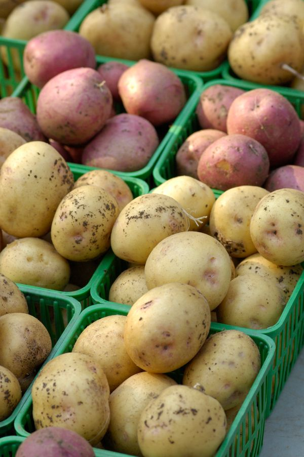 Keeping a potato in the cold temperature of your refrigerator will turn its starch into sugar more quickly, so that you'll be
